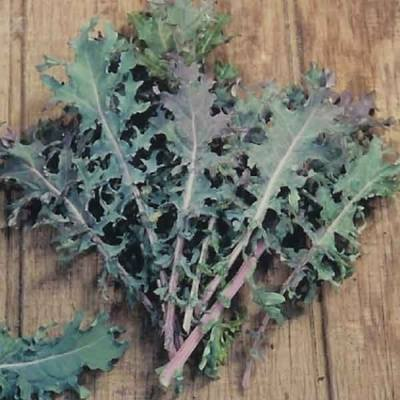 Kale - Red Russian - 300 seeds