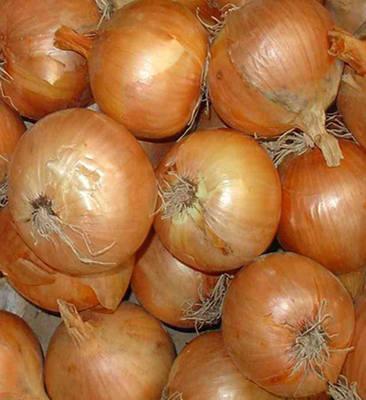 ONION - Giant stuttgart - 200 seeds