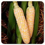 Sweetcorn F1 Luscious seeds