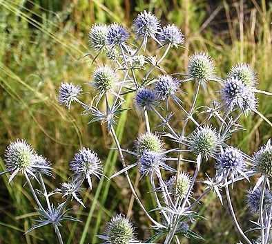 Eryngium planum - Sea Holly - 50 seeds