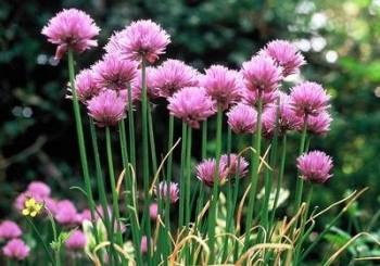 Chives - fine leaved seeds