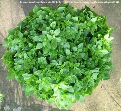 BASIL - GREEK - Herb garden - 300 Seeds