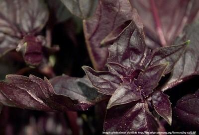 BASIL - PETRA RED - herb - 200 seeds