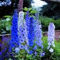 Delphinium Dwarf Blue Fountains 30 seeds