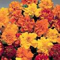 Marigold - Safari mix - 60 garden flower seeds