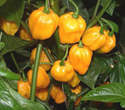 Chilli pepper - Scotch Bonnet (orange) 12 Seeds