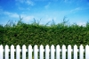 Hedge and white picket fence