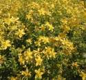 St. John's wort - hairy - 1000 seeds