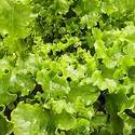 Lettuce - Green Salad Bowl - 500 seeds