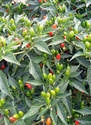 Chilli Pepper - NUMEX BAILEY - 15 seeds