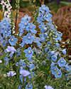 Delphinium - Clivedon Beauty - 20 seeds