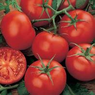 TOMATO - Moneymaker - 50 seeds