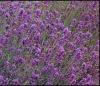 Lavender Spica seeds