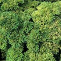 Parsley champion moss curled seeds