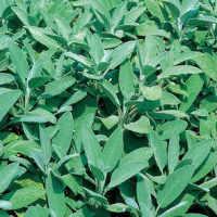 Sage seeds Green leaved salvia