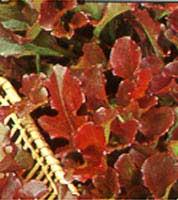 Lettuce - Red salad bowl seeds