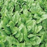 Spinach F-1 Emilia seeds