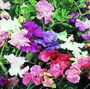 SWEET PEA - Giant Spencer Waved Mixed - 20 seeds