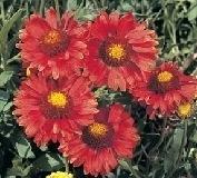 Gaillardia - Burgundy  seeds - Blanket flower