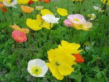 Papaver - Artist's Glory Mixed - 1000 seeds [ poppy ]
