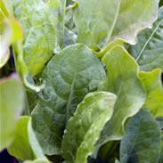 Sorrel Broad Leaved Rumex acetosa Seeds