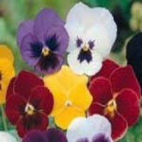 Pansy Early Giants Mixed seeds