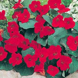Nasturtium - Empress of India - 10 Seeds