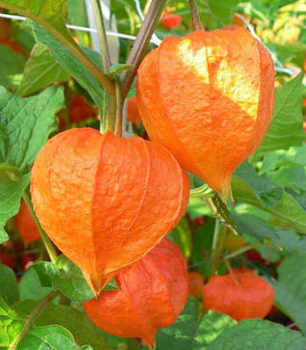 Physalis franchetii Chinese Lantern Seeds