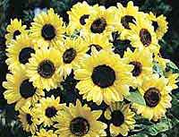 Sunflower Valentine Helianthus annuus seeds