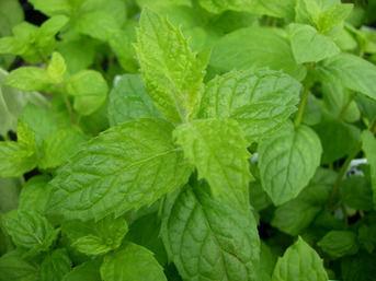 MINT - Mentha spicata [Garden spearmint] - 1000 seeds