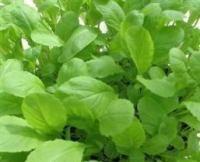 MUSTARD Green Giant seeds - Oriental & Unusual