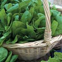 Spinach Medania seeds