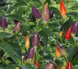 Chilli Pepper - Twilight - Medium HOT ! 12 seeds