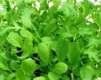 Oriental leafy salad Mix - inc. pak choi seeds