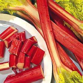 RHUBARB - Glaskin's Perpetual - Garden fruit 60 SEEDS
