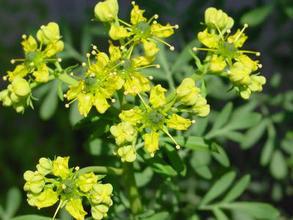 RUE - Perennial evergreen - 75 SEEDS
