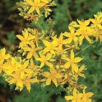 St. John's wort common seeds