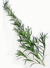 Tarragon - Russian - Artemesia dracunculoides 100 seeds