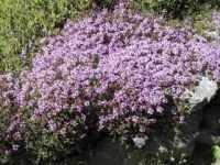 Thyme Purple Creeping  seeds