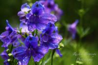 Delphinium Tom Pouce Gentian Blue Seeds