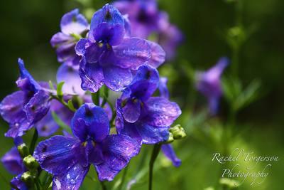 Delphinium - Tom Pouce Gentian Blue - 20 Seeds