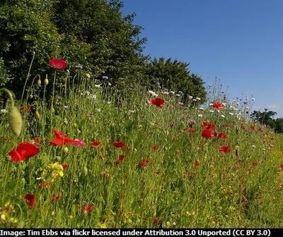 Special Cornfield Annuals Wildflower Mix - 1 Gram