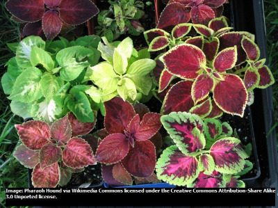 Coleus - Wizard Mixed - 20 seeds