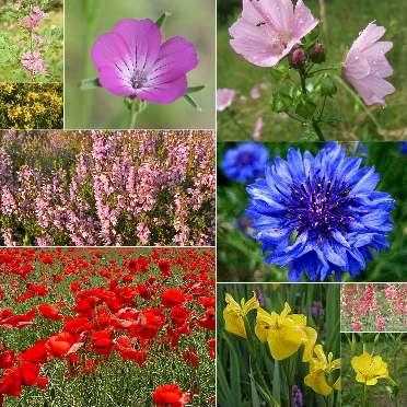 10 Packs of Wild flower seeds inc Poppy, Cornflower, Foxglove etc