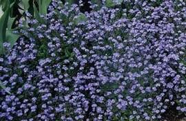 Forget Me Not - Myosotis Sylvatica - Blue Sylva  Seeds
