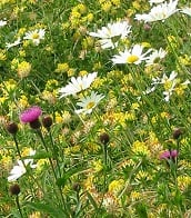 Wildflower Seed Mix For Dry Soils And Green Roofs - 1 Gram