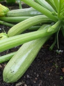 Courgette Genovese seeds