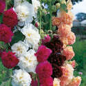 Hollyhocks - Chaters double mix - 25 seeds