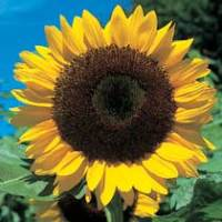 Sunflower GIANT Yellow 3 metre plus seeds
