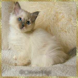 Litter 10 n (seal tortie mitted girl)